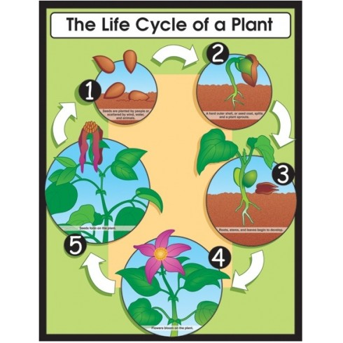 Life Cycle of a Plant Poster - English Wooks - photo#28