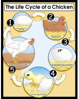 Life Cycle of a Chicken Poster