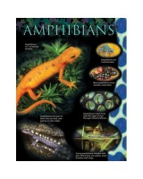 Amphibians Animal classification