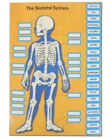 Bulletin board set - Human Body