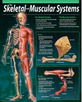 The skeleton and muscular system